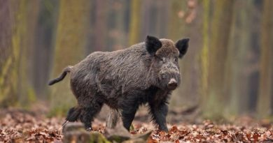 Danni da fauna selvatica, abbattuti 4.434 cinghiali dai cacciatori dell'Ambito Territoriale di Caccia VT 1