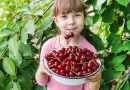 La Festa delle ciliegie di Celleno si fa in versione Covid e in digitale