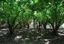 Dal Coordinamento Corilicolo Territoriale le indicazioni per una coltivazione sostenibile del nocciolo