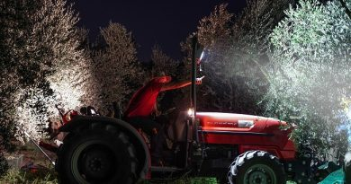 Montefiascone: scoprire la raccolta notturna degli uliveti recuperati dall'abbandono